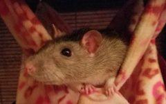 I Love My Pet Rats
