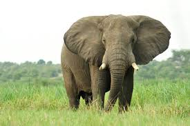Boost to Elephant Protection Laws Rejected