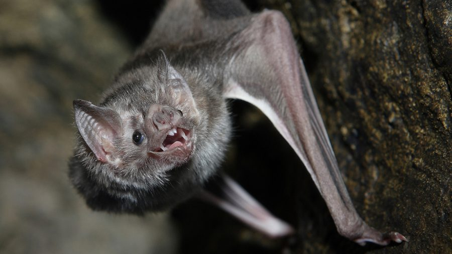 Vampire Bats in Brazil in Search of Human Blood