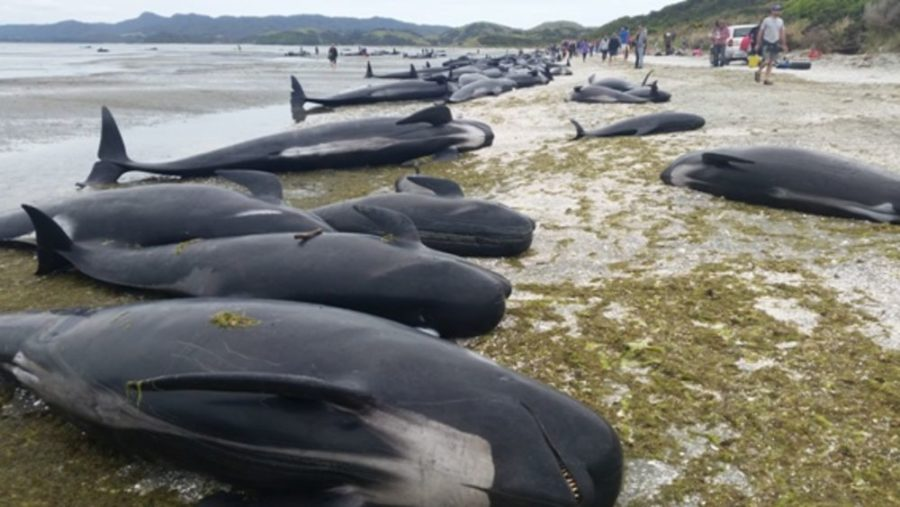 Hundreds of Beached Whales Die in New Zealand
