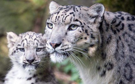 Snow Leopard No Longer Endangered