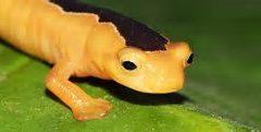 """""""Golden Wonder"""" Salamander Rediscovered"""