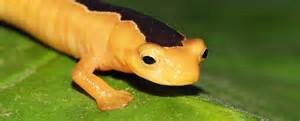 Golden Wonder Salamander Rediscovered