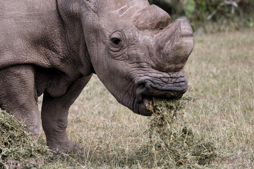 Last Male White Rhino Dies