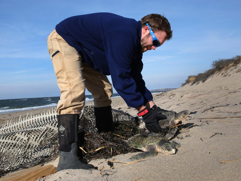 Frozen Sea Turtles Wash Up On Shores in Cape Cod Because of Cold Spell