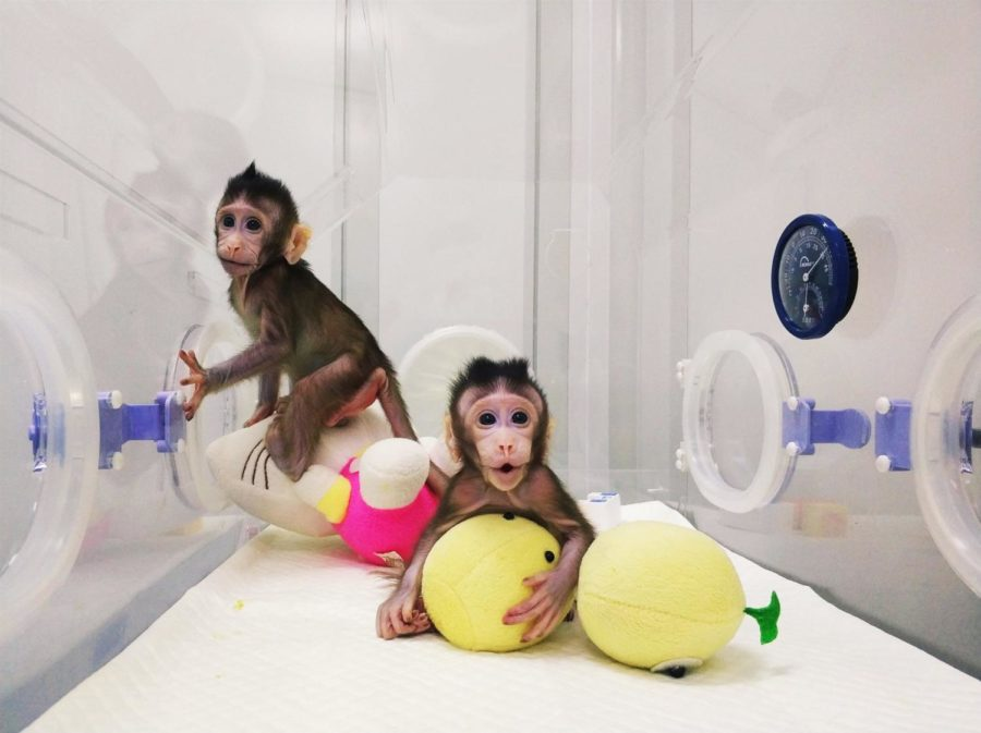 CHINESE SCIENTISTS CLONE MONKEYS. Scientists in China have successfully coned a long-tailed macaques using the same process they used to clone Dolly the sheep more than twenty years ago. The process in which they used is called somatic cell nuclear transfer (SCNT), which involves transferring the nucleus of a cell, which includes its DNA, into an egg which has had its nucleus removed. The two monkeys are now genetically identical and scientists believe they have broken the barrier in human cloning. Zhong Zhong and Hua Hua are the names of these monkeys. Which is which? Dont know, they kinda look...the same:)