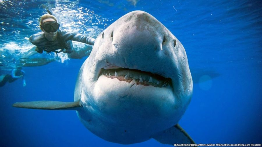 Divers Record Biggest Great White Shark So Far