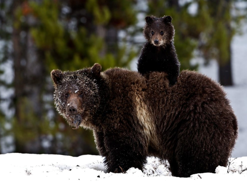 Toddler Survives Three Days Lost In Woods by Befriending a Bear