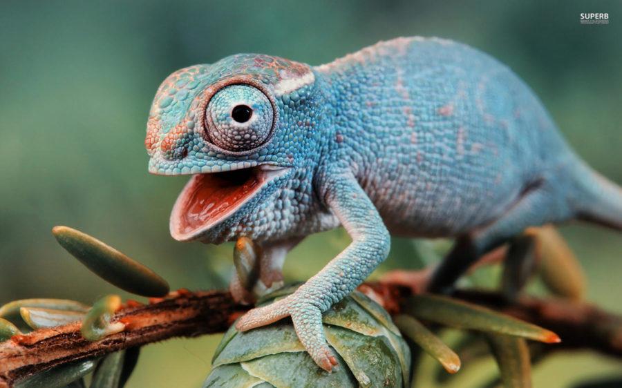 Chameleons…That's it