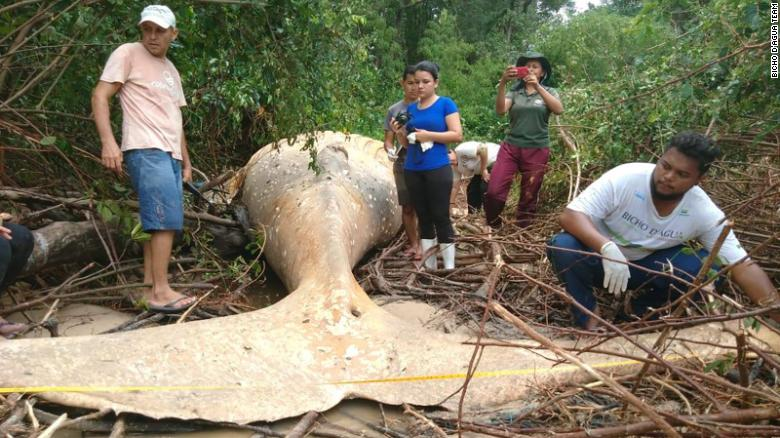Whale In Brazilian Forest
