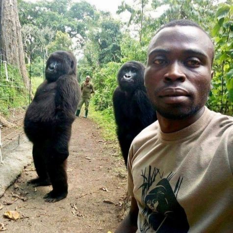 The Congo's Next TopModels Are Gorillas