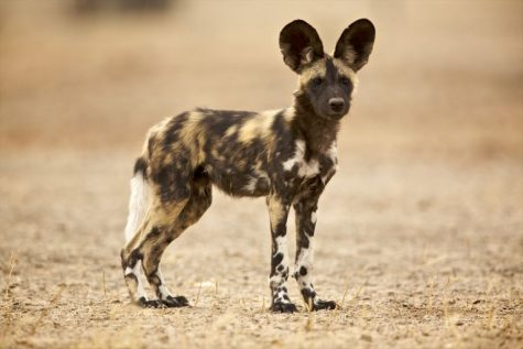 https://www.thoughtco.com/african-wild-dog-facts-4171975
