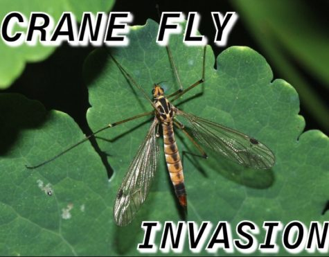 Crane Flies on the Run