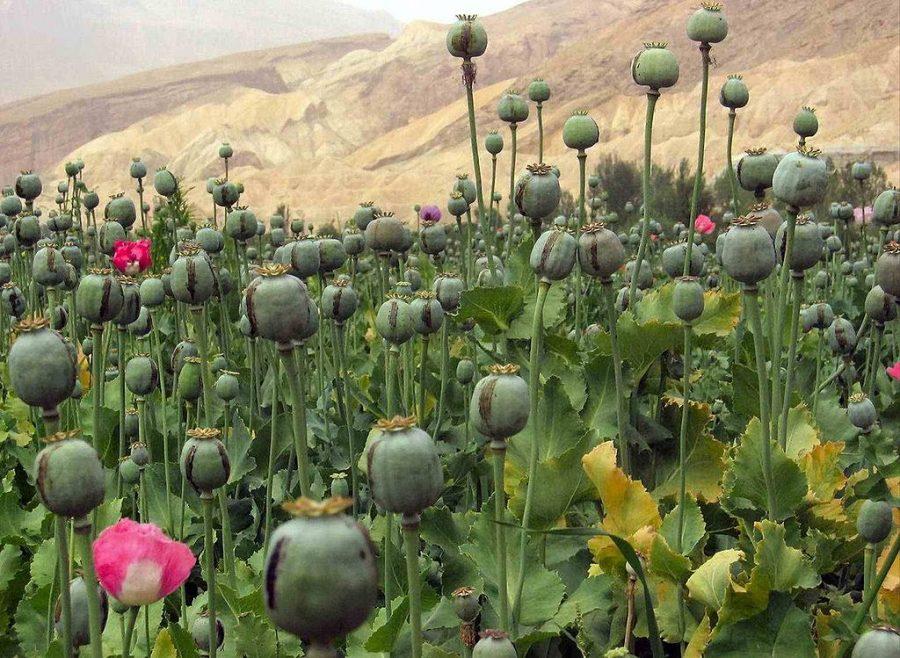 Opium+poppies+grown+in+Afghanistan.